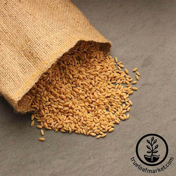 Hard White Wheat (organic) - Bulk Grains & Foods