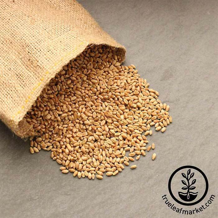 Hard Red Spring Wheat (organic) - Bulk Grains & Foods