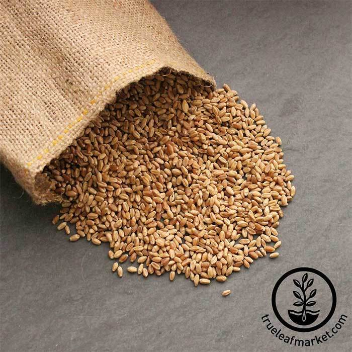 Hard Red Winter Wheat (organic) - Bulk Grains & Foods