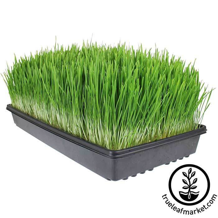 Large Tray of grown wheatgrass ready to juice