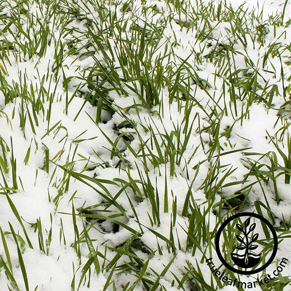 Winter Rye - Cover Crop Seeds