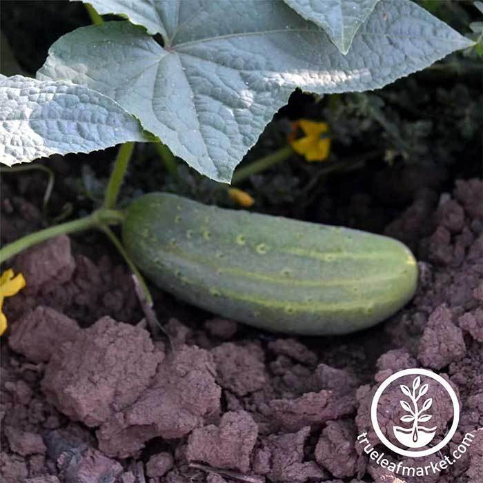 Cucumber Pickling Wisconsin SMR Seed