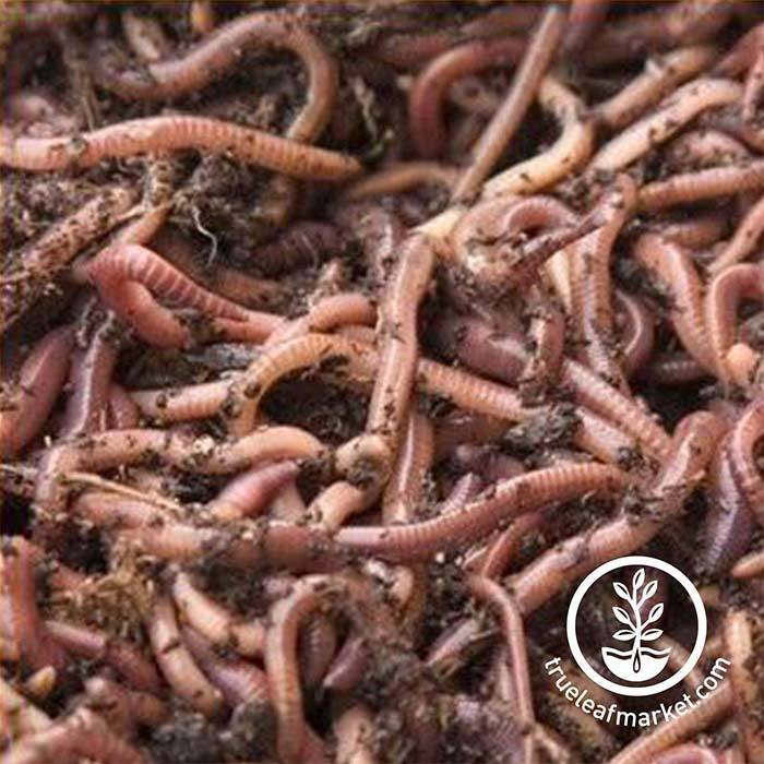 Red Worms for Composting