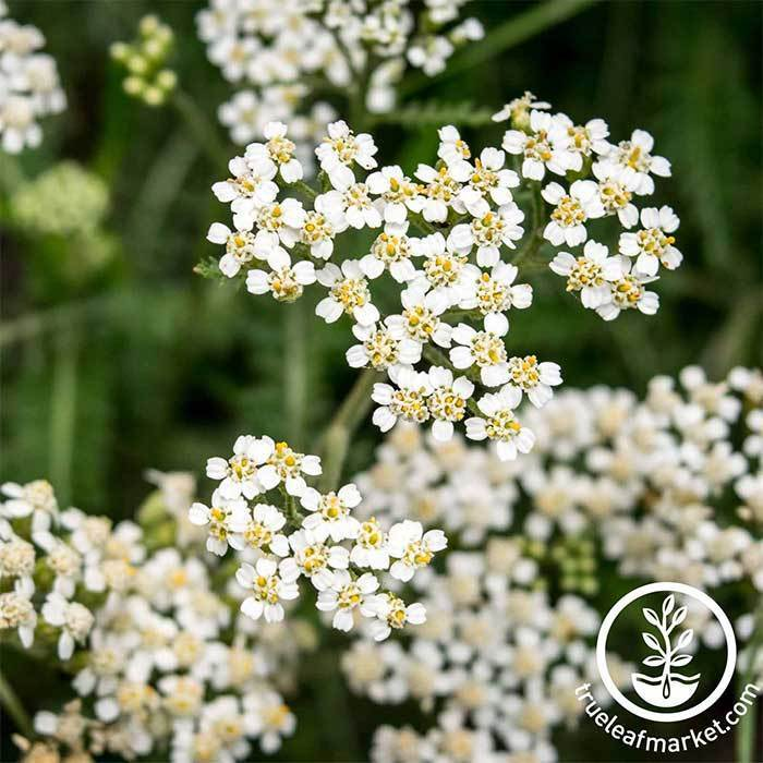 Yarrow White Herb Flower Seeds - Achillea