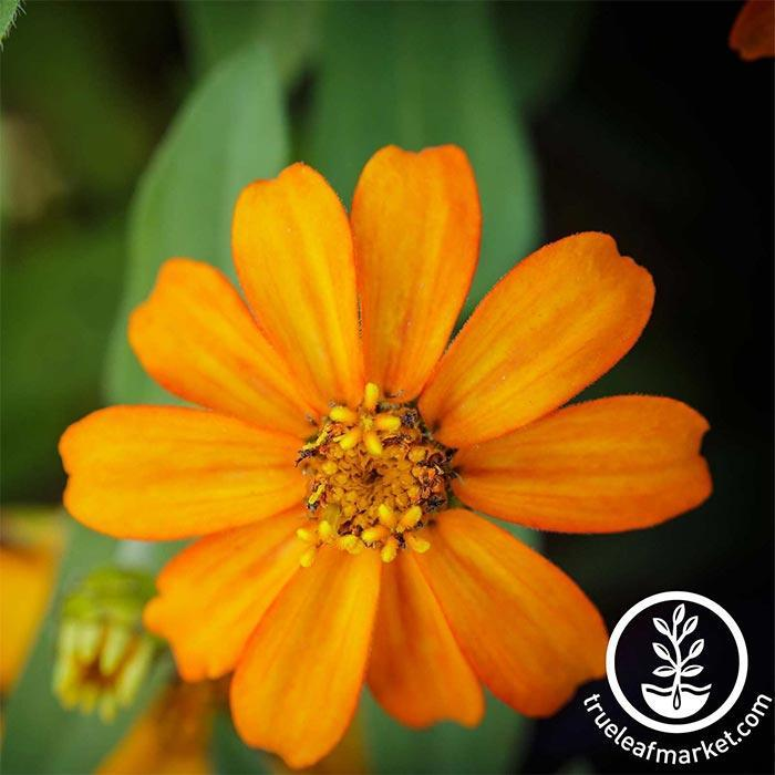 Zinnia Crystal Series Orange Flower Seeds