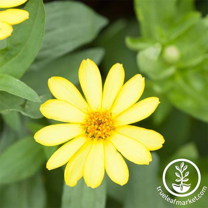 Zinnia Crystal Series Yellow Flower Seeds