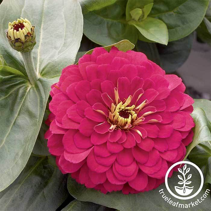 Zinnia Magellan Series Cherry Flower Seeds