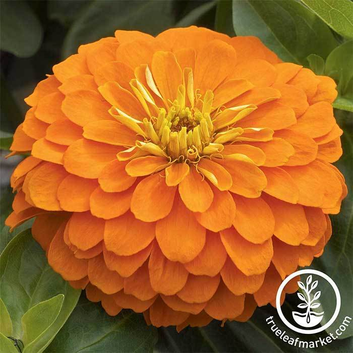 Zinnia Magellan Series Orange Flower Seeds