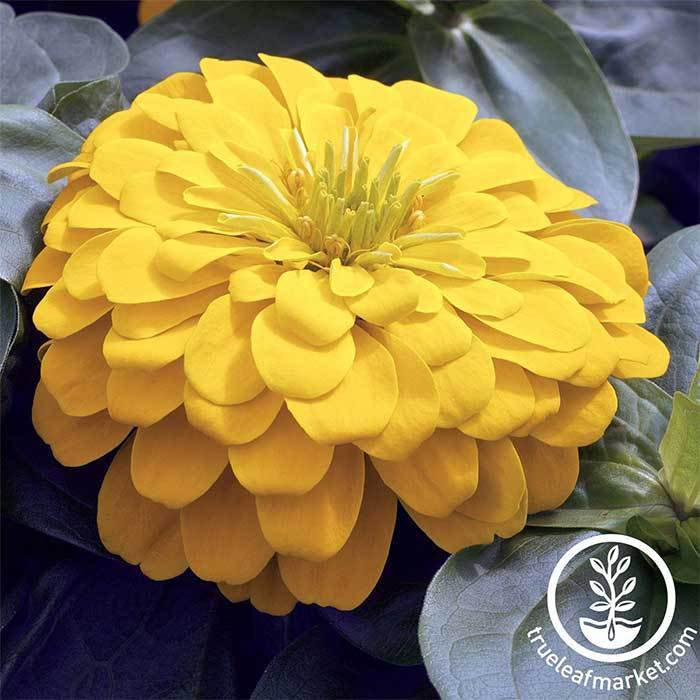 Zinnia Magellan Series Yellow Flower Seeds