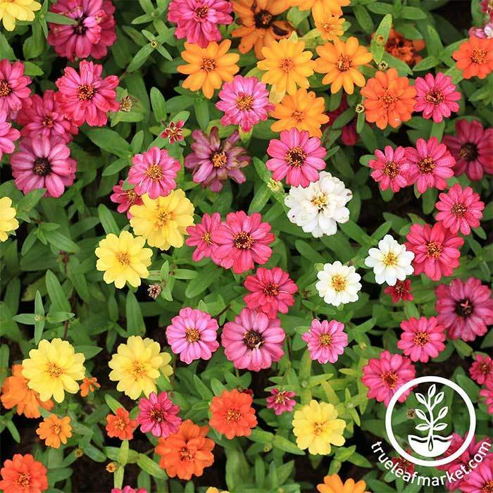 Zinnia Profusion Series Mix Seed