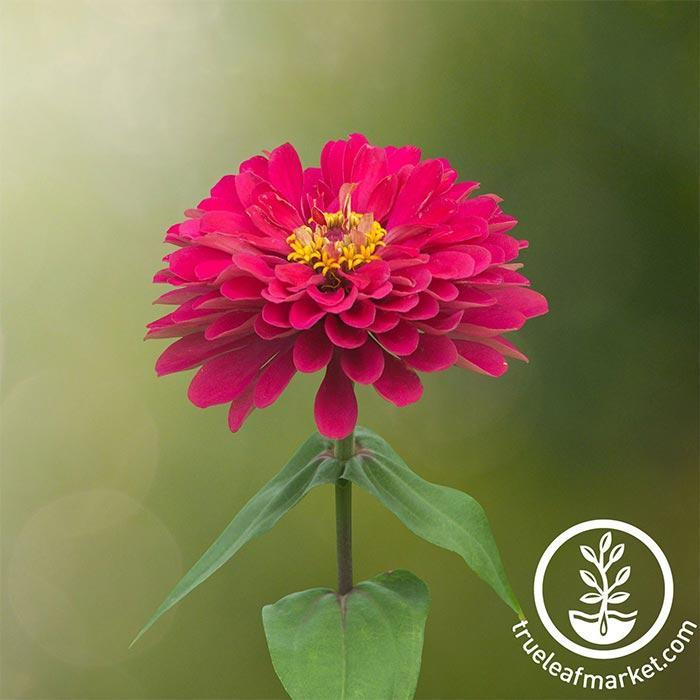 Zinnia Profusion Series Double Cherry Seed