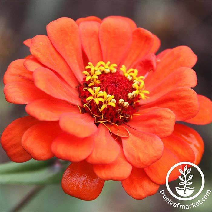 Zinnia Profusion Series Double Fire Seed