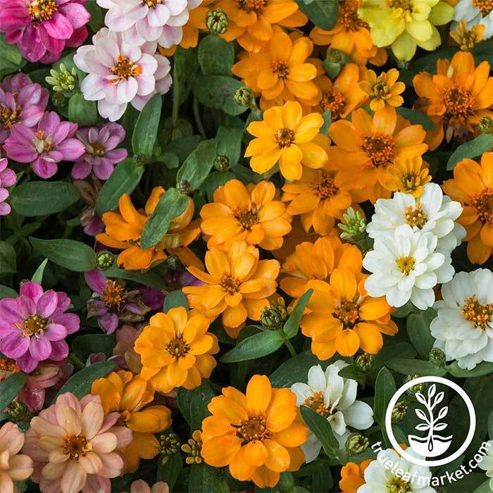Zinnia Profusion Series Double Mix Seed