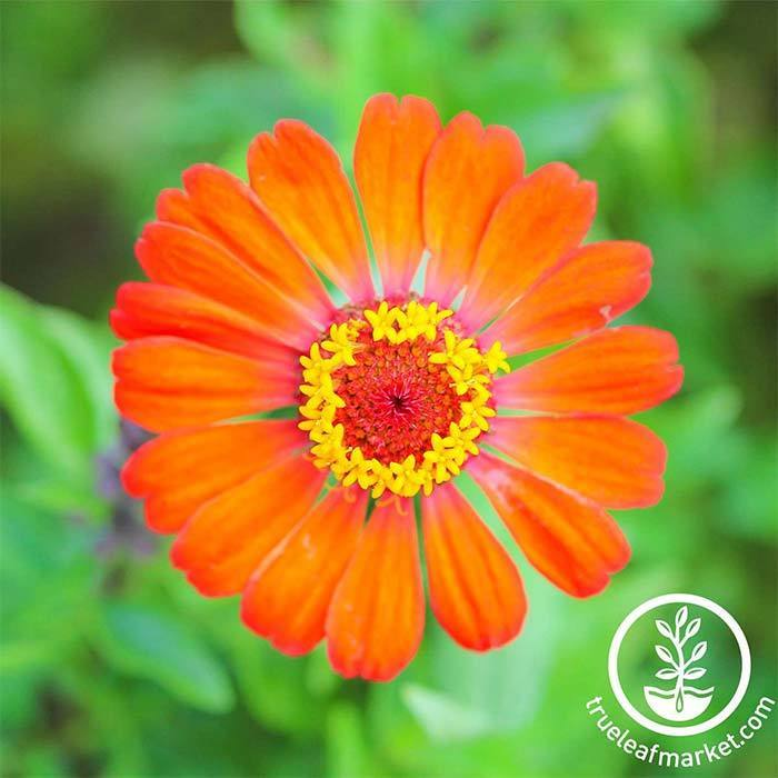 Zinnia Profusion Series Fire Seed