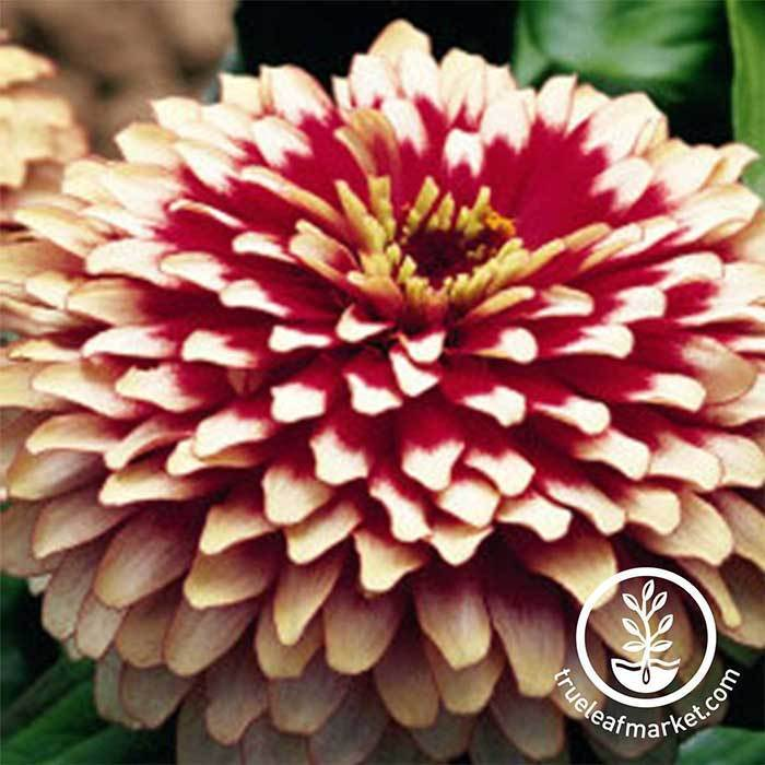 Zinnia Swizzle Series Cherry and Ivory Flower Seeds