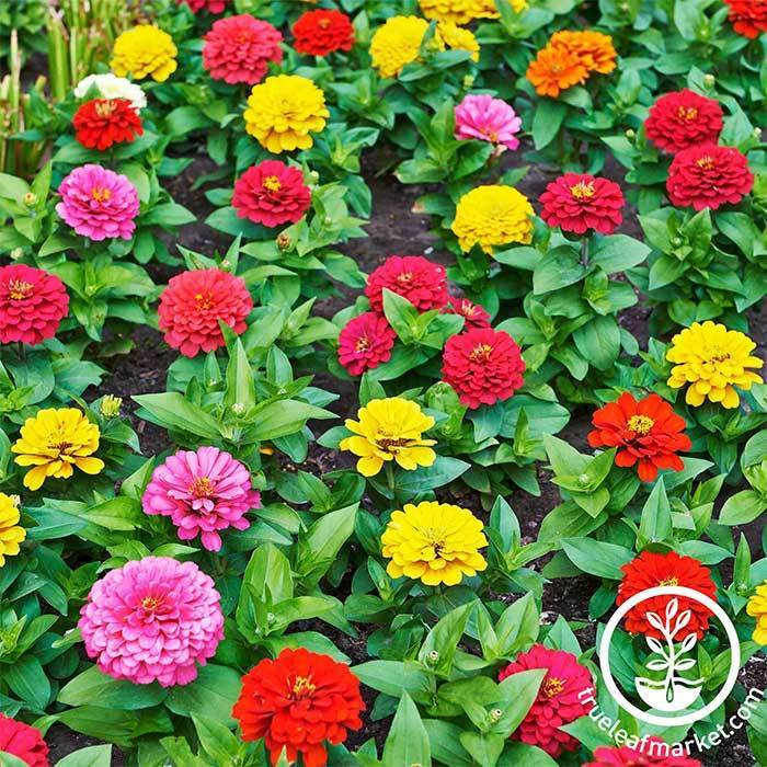 Dwarf Zinnia Thumbelina Mixture Seeds