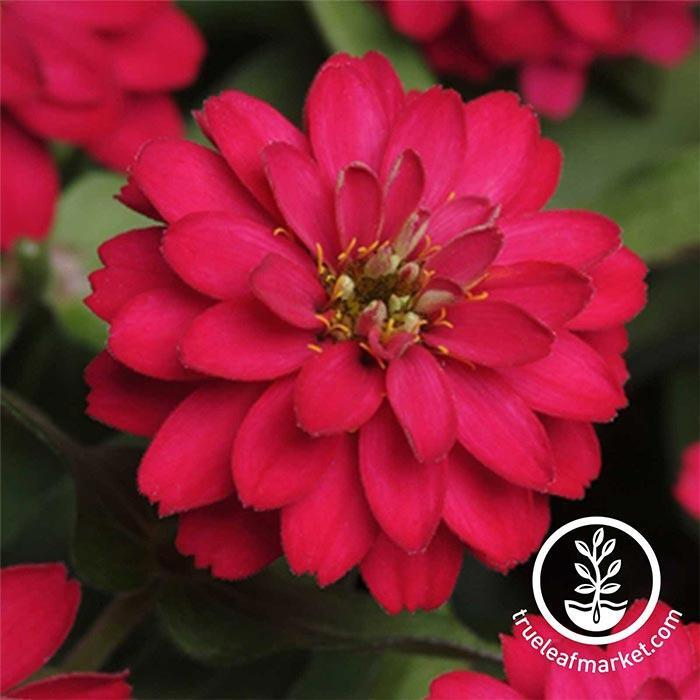 Zinnia Zahara Series Double Cherry Flower Seeds