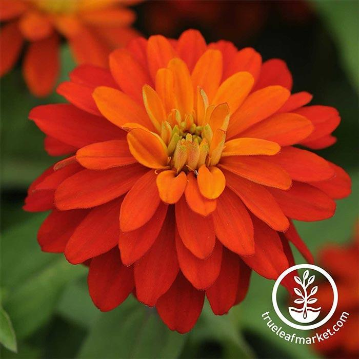 Zinnia Zahara Series Double Fire Flower Seeds