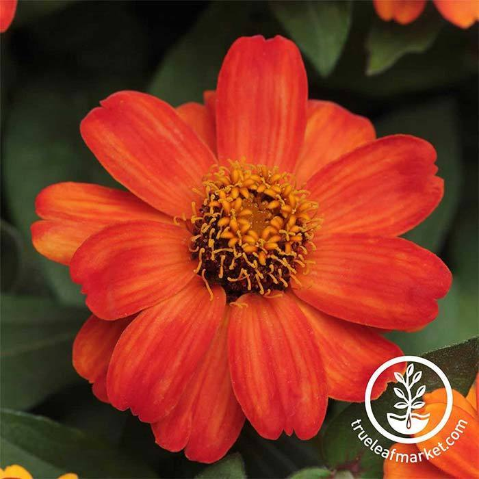 Zinnia Zahara Series Fire Flower Seeds