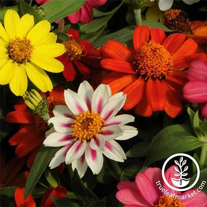 Zinnia Zahara Series Mix Flower Seeds