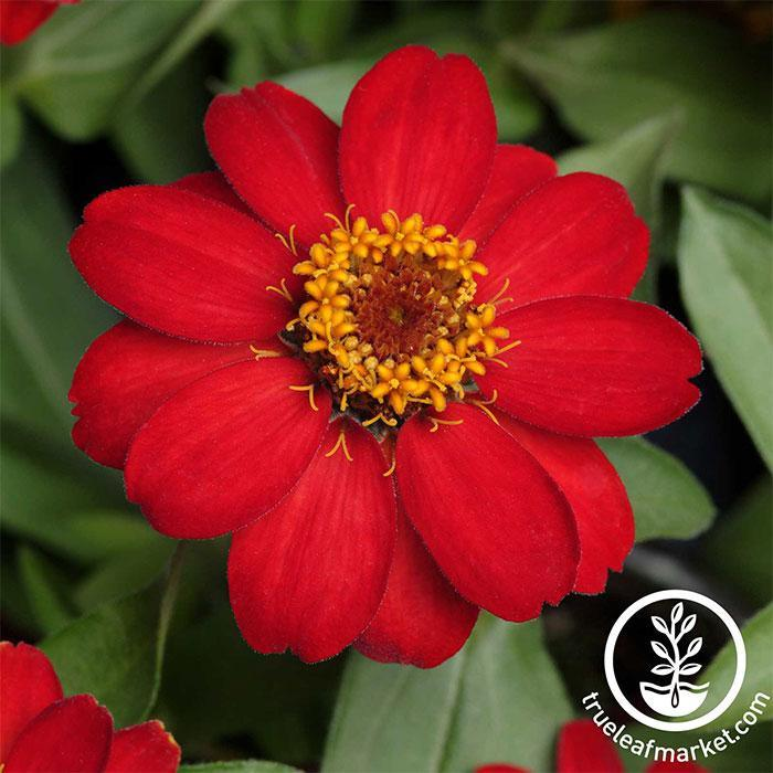 Zinnia Seeds - Zahara Series Red Flower Seeds