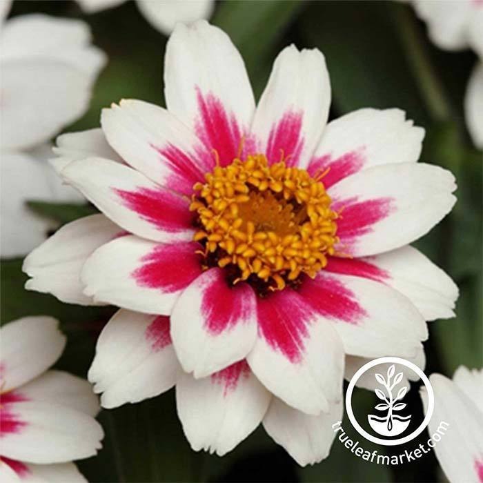 Zinnia Zahara Series Starlight Rose Flower Seeds