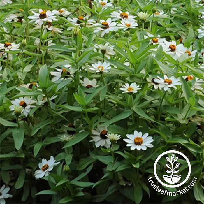 Zinnia Zahara Series White Flower Seeds