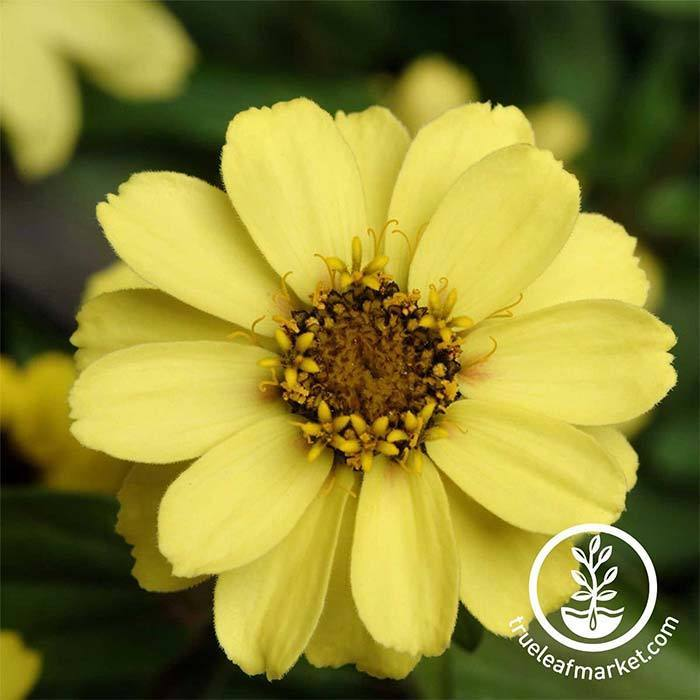 Zinnia Zahara Series Yellow Flower Seeds