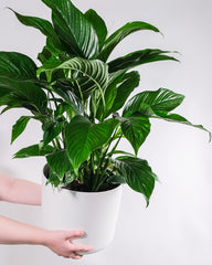 Peace Lily, a popular indoor plant