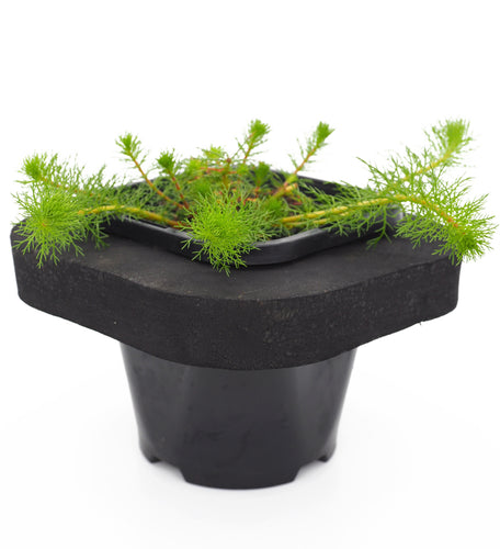 Upright Water Milfoil (Myriophyllum crispatum) 12cm pot and floating ring