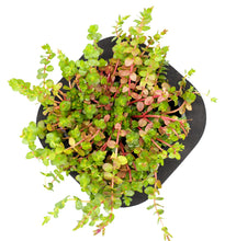Pink Rotala (Rotala roundifolia) 12cm pot and floating ring