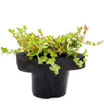 Pink Rotala (Rotala roundifolia) pot with floating ring (7cm)