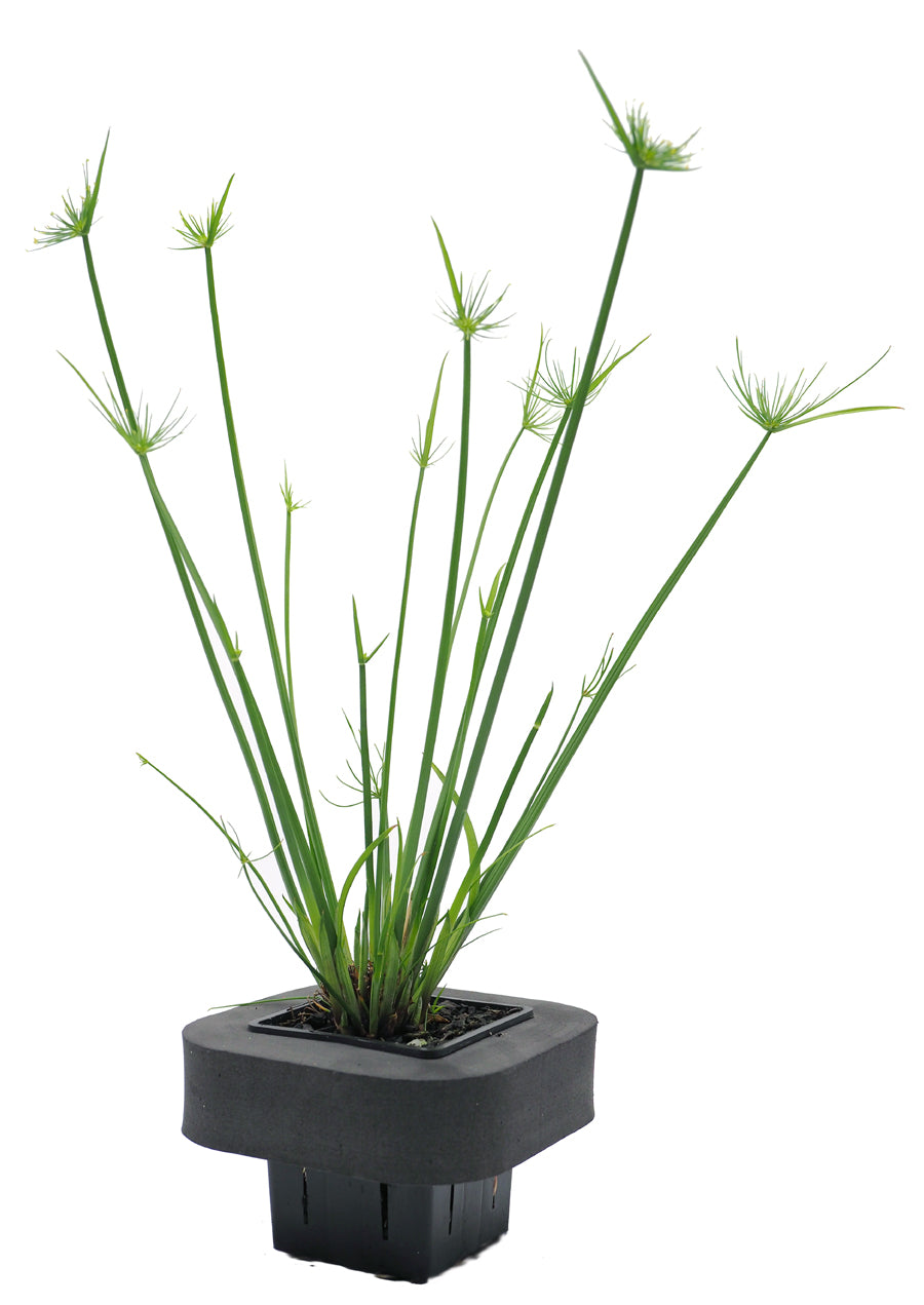 Dwarf Papyrus (Cyperus papyrus nana) pot with floating ring (7cm)