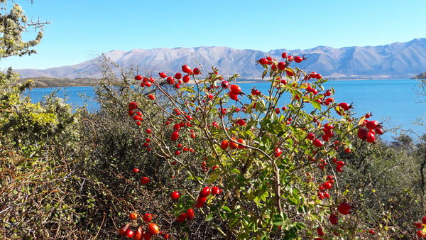 Ripe rosehips beside lake in Central Otago.