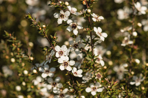Delicate white NZ manuka in flower.