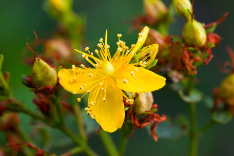Close up of St John's wort in flower. Brilliant yellow.