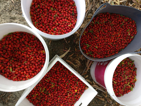 Large buckets of  freshly picked red rose hips.