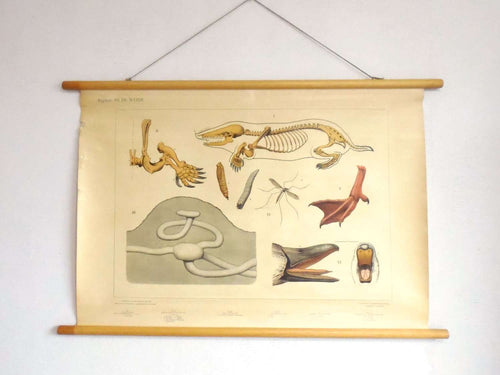 UpperDutch:School Chart,School Chart 'In the meadow' mole rat skeleton, duckbill,duck foot, mosquito and larvae. Vintage bird anatomical pull down Chart
