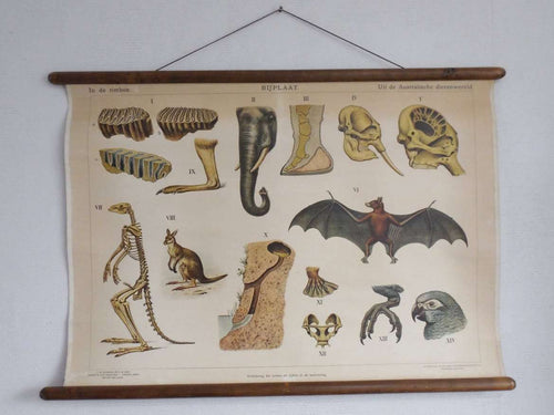 UpperDutch:School Chart,Pull Down Chart, School Chart. Antique 1930s Anatomical Australian Wildlife Pull Down Chart. Kangaroo, parrot,bat, elephant.