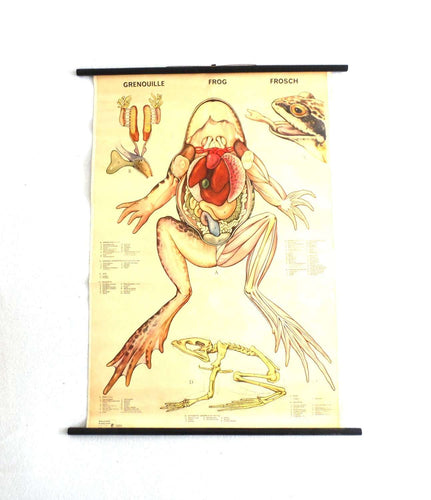 UpperDutch:School Chart,Pull Down Chart, School Chart, Frog, Vintage Anatomical Frog Pull Down Chart, frog print, school wall, school decor.