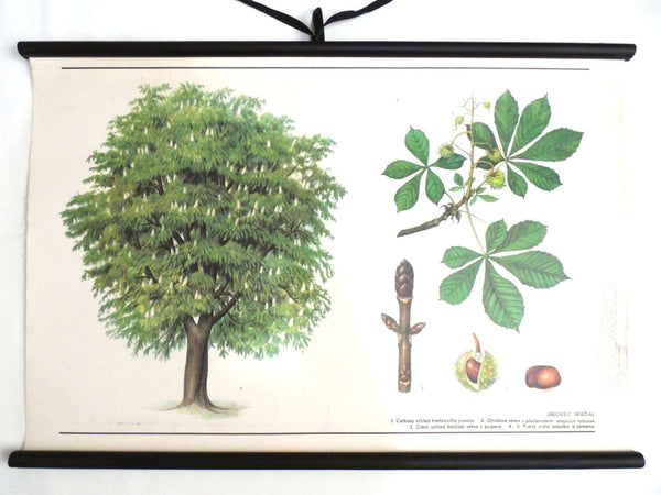 UpperDutch:School Chart,School Chart chestnut tree. Vintage Chestnut Pull Down Chart. Botanical tree print.