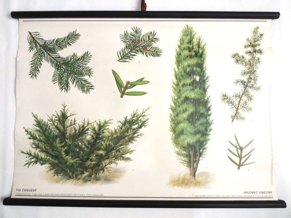 UpperDutch:School Chart,Pull Down Chart, School Chart, Juniper Tree. Vintage Botanical Pull Down Chart. Juniper Berry.