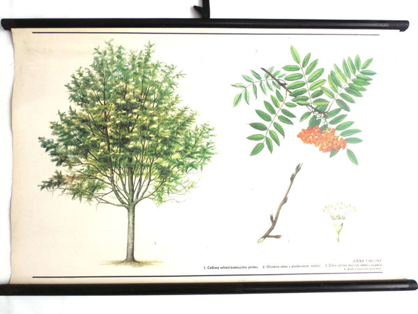 UpperDutch:School Chart,School Chart. Vintage Rowan Tree Pull Down Chart. Botanical Tree Print. Rowan berry.