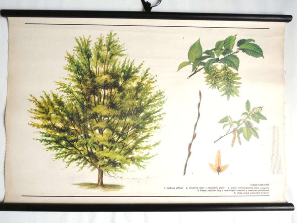 UpperDutch:School Chart,School Chart. Vintage Hornbeam Tree Pull Down Chart. Botanical Tree Print. Hornbeam tree.