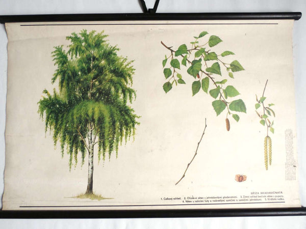 UpperDutch:School Chart,School Chart. Vintage Birch Tree Pull Down Chart. Botanical Tree Print. Birch tree.