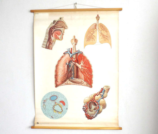 UpperDutch:School Chart,Pull down Chart. Antique Anatomical - Lungs - Respiratory System - Anatomy Pull Down Chart. Educational.