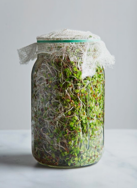 edible sprouts in mason jar in a few days