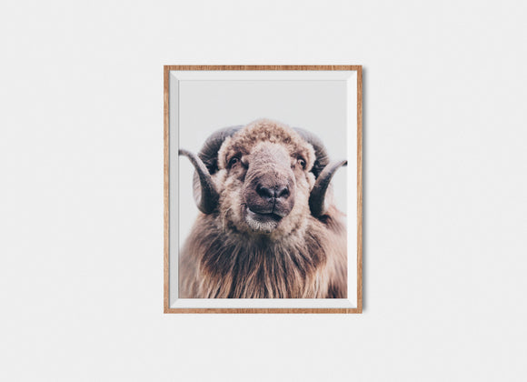 Faroese Sheep Fine Art Print Bob