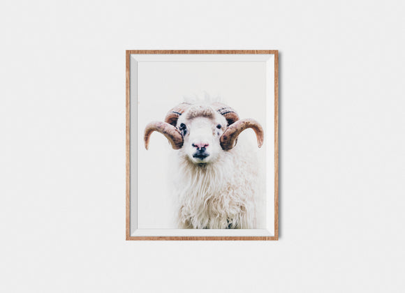 Faroese Sheep Fine Art Print Bill