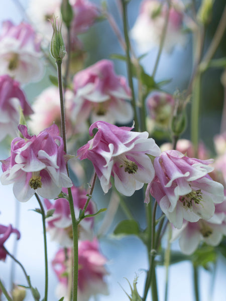 European Columbine Flower Essence for adapting to changes